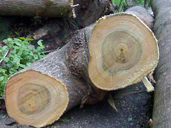 Fusto-alberi-pericolosi-parma