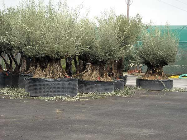 Potatura alberi alto fusto parma offerte manutenzione for Alberi da frutto prezzi